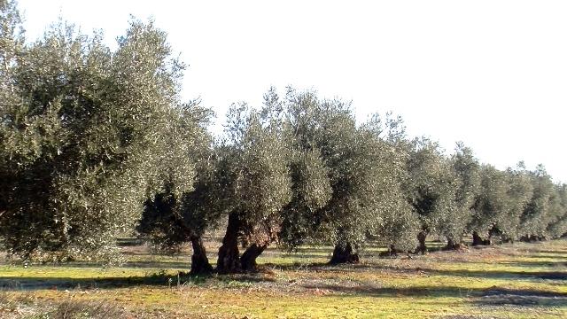 olivar, paisaje Castellano Manchego
