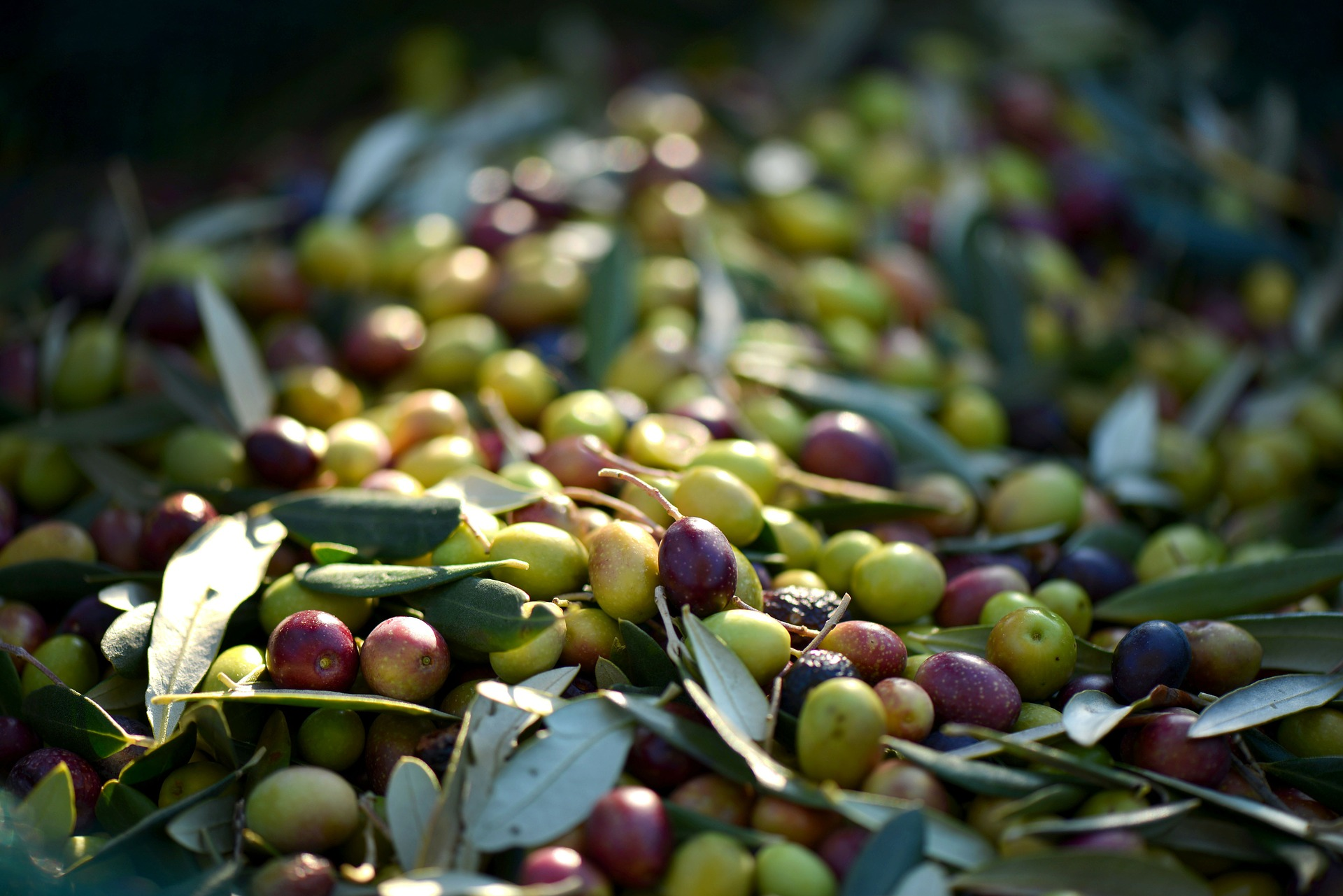 Fruto donde se extrae el aceite de oliva