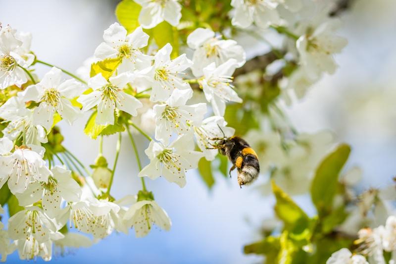 Curiosidades de las abejas y su miel, abeja recolectando