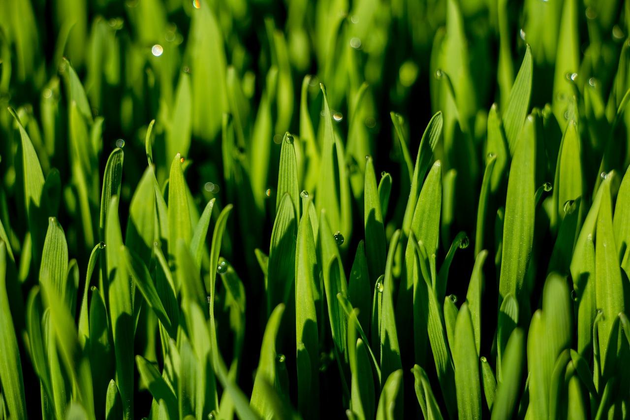 Superalimentos-hierba de trigo