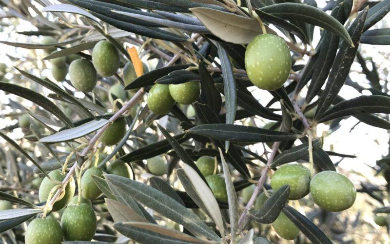 Variedades de aceituna en España, Hojiblanca
