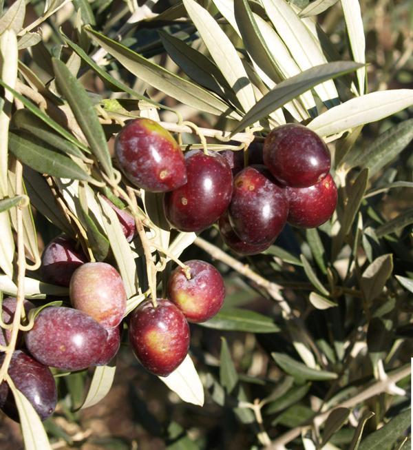 Variedades de aceituna en España, Picual