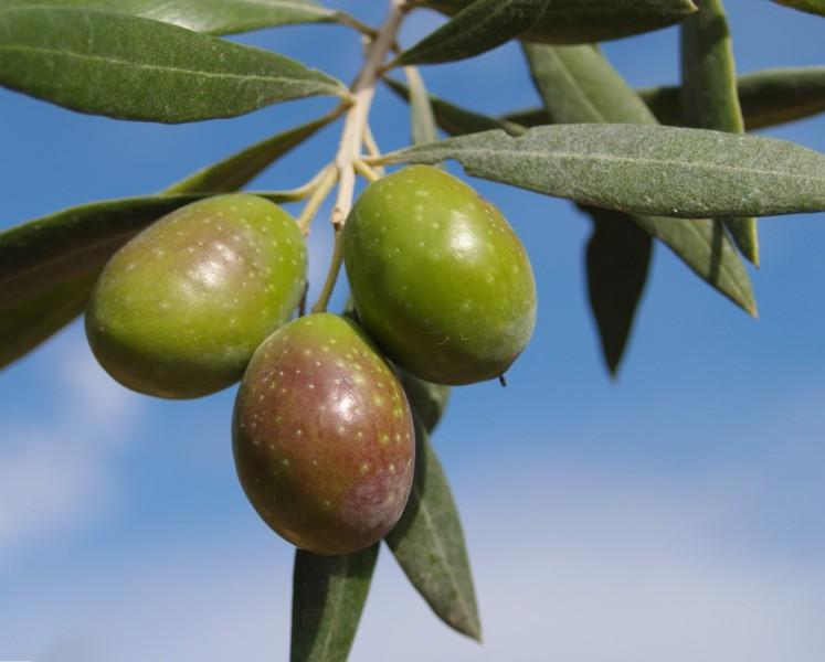Variedades de aceituna en España, Verdial
