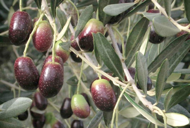 Variedades de aceituna en España, Empeltre